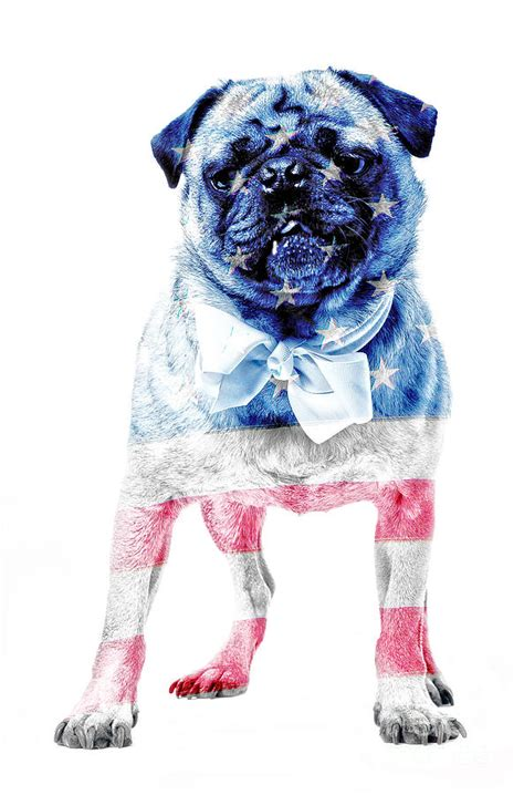 american pug american pug photograph by edward fielding