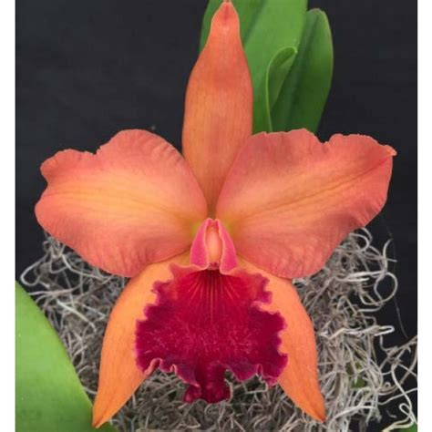 28 best what to do when your orchid flowers fall how to care for orchids after blooms fall