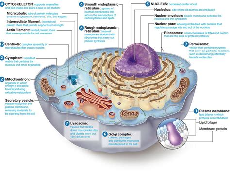 cross section of a animal cell biology for darajah 3 4