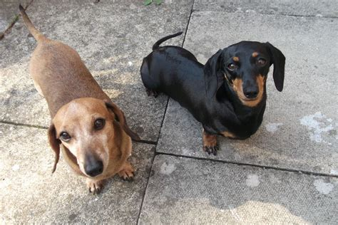 sausage dogs 2 miniature smooth haired dachshunds sausage dogs birchington kent pets4homes