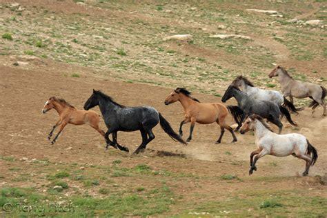 mustang horse running wild horse herd running www pixshark com images