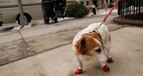 is salt bad for dogs these pooch boots are made for walking ny city lens