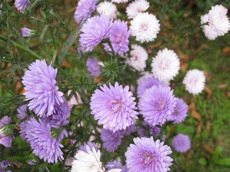 violet china aster callistephus chinensis
