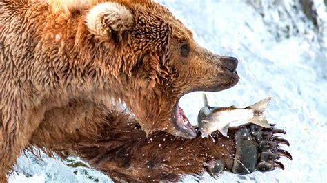 brown bear eating fish hd wallpapers