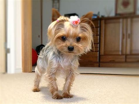 female yorkie haircuts styles 25 best yorkie haircuts images on pinterest yorkie