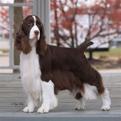 english springer spaniel bench 146 best images about grooming cocker on pinterest red