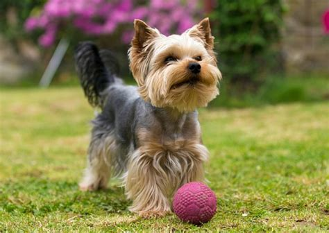 understanding yorkie behavior terriers temperament personality petsyoulove
