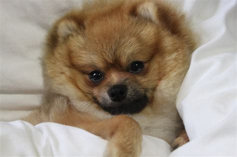 how to tell if your is a pomeranian grooming your pomeranian puppy
