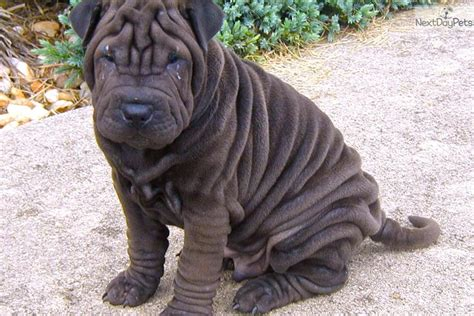 black shar pei puppy shar pei puppy for sale near hickory lenoir carolina 4d25b684 9cb1