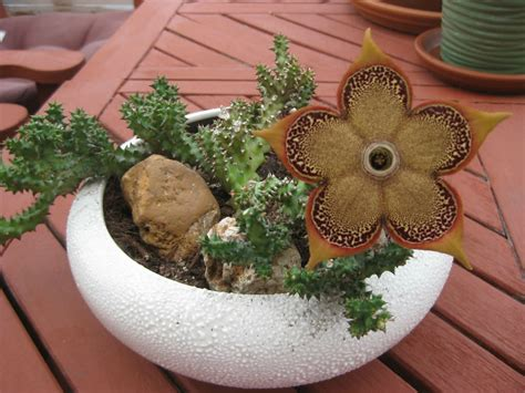 Red Green Color Combination Edithcolea Grandis Persian Carpet Flower World Of