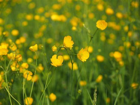 hahnenfuss butterblume wiesenblume kostenloses foto auf