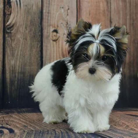 biewer terrier haircuts 72 best biewer german yorkie images on pinterest yorkies