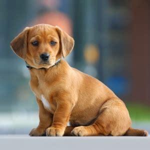 het chippen van een hond