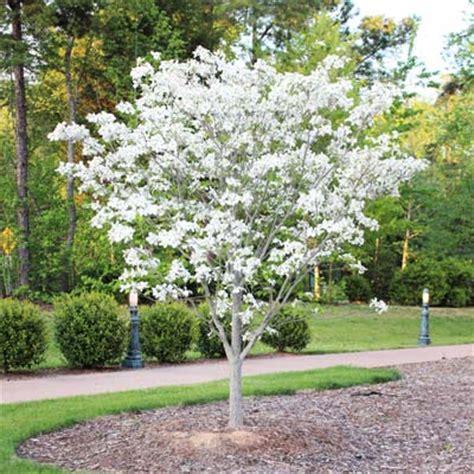 white dogwood tree cornus florida for sale brighter blooms nursery