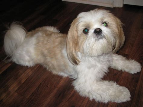 shih tzu smart of the day for 4 15 2013 toby shih tzu