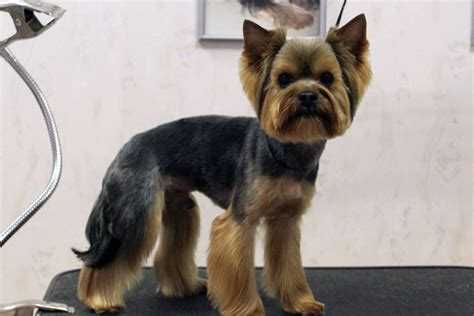 yorkie hairstyles yorkie haircut exles yorkshire terrier haircuts quotes