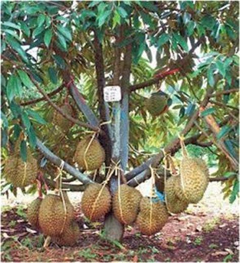 Bibit Buah Durian Kumbokarno 1 jawab tentang bibit durian harga dan cara menanam