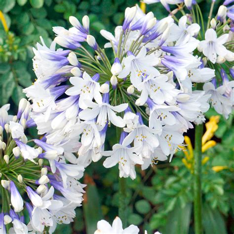 agapanthus twister all perennial plants perennial