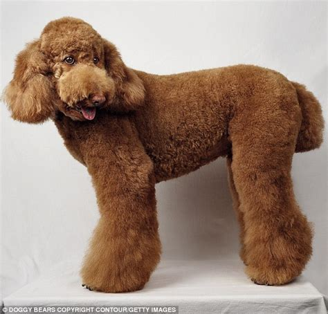 poodles long hair in winter standard poodle haircut styles hairs picture gallery