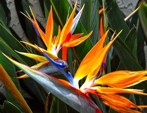 how to overwinter bird of paradise plants the garden of eaden