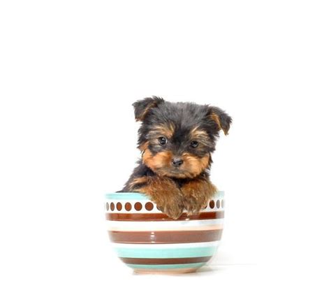 teacup yorkies for adoption in ohio 25 best ideas about yorkie puppies for adoption on teacup pomeranian