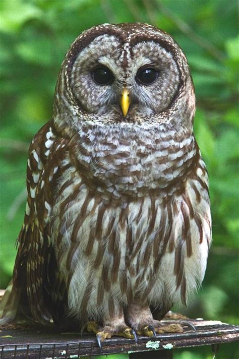 top 28 types of owls in pa 15 popular owl species