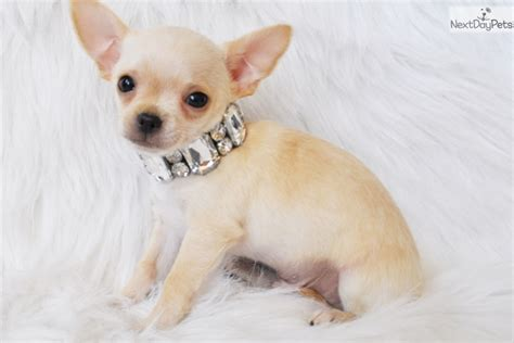 yorkies for sale sacramento teacup chihuahua puppies for sale in dallas html autos weblog