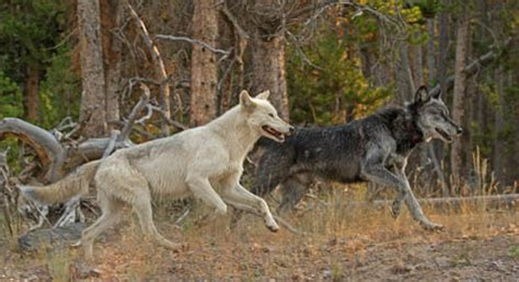 ecological role  wolves defenders  wildlife