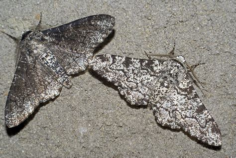 Peppered Moth modern school science news victory for peppered moth