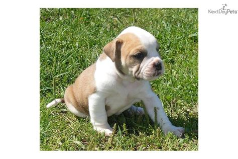 alapaha blue blood bulldog puppies for sale alapaha blue blood bulldog puppies breeds picture