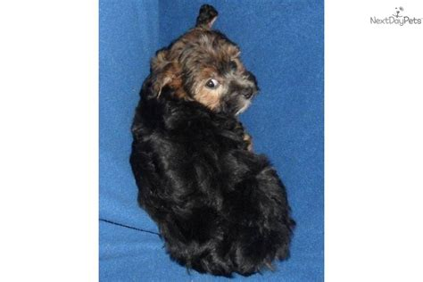 yorkie gums meet gum drop a yorkiepoo yorkie poo puppy for sale for 500 gum drop