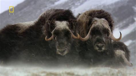 Ox Natgeo Wildd nat geo russia arctic hd nature documentary