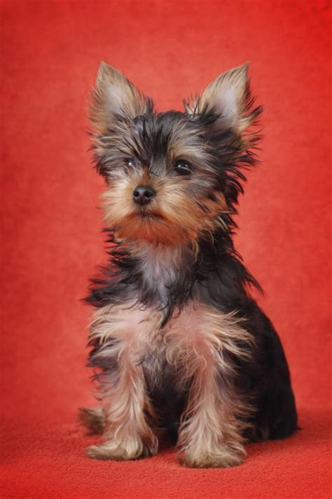 teacup yorkie problems what to look for in a teacup yorkie terrier care the daily puppy