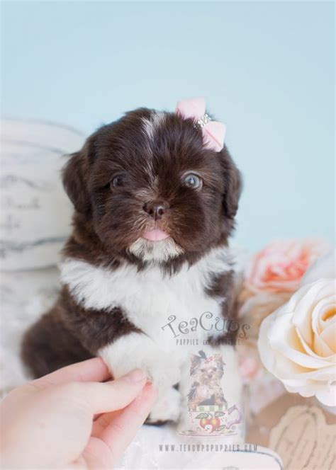 chocolate shih tzu for sale imperial shih tzu puppies for sale by teacups puppies boutique teacups puppies