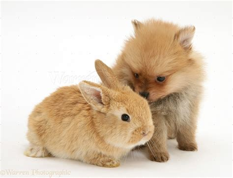 bunnies and puppies pets pomeranian puppy and rabbit photo wp17848