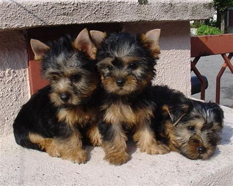 silky terrier puppies for sale malaysia and puppy portal commercial puppies for sale local australian