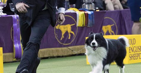 westminster show 2018 the 2018 westminster kennel club show photos the 2018 westminster show