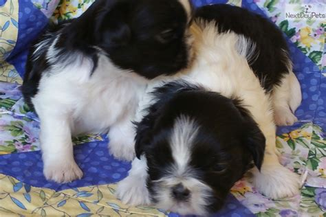 shih tzu for sale las vegas shih tzu puppy for sale near las vegas nevada 3d899ce1 2501