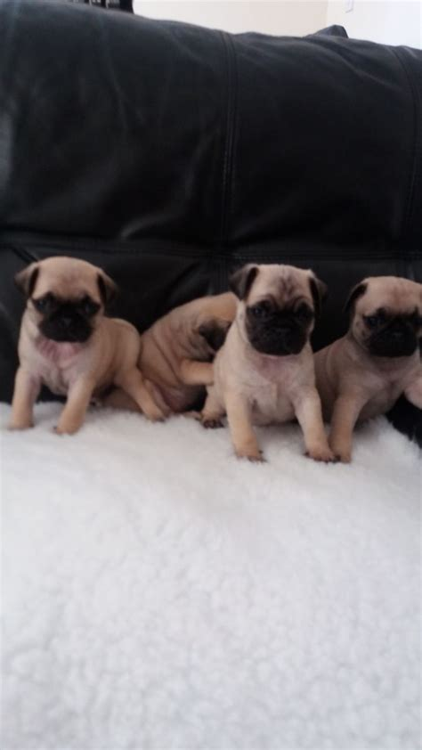 pug breeders in bc pug puppies pontefract west pets4homes