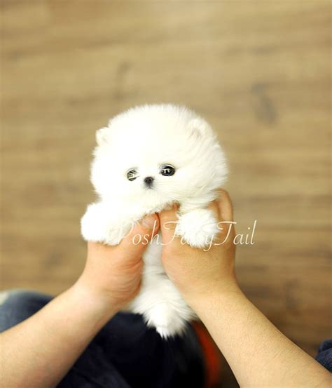 teacup pomeranian best 25 teacup pomeranian ideas on pomeranian