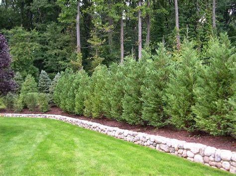 pini da giardino piante da esterno tante idee originali per garantire la