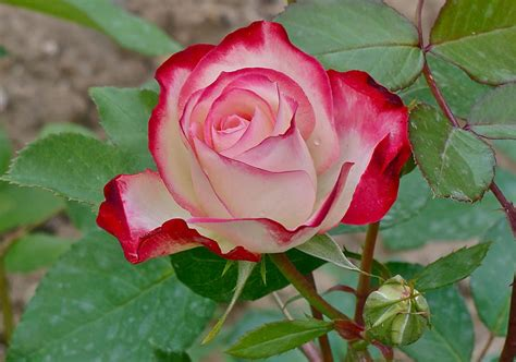 rose can gorgeous roses the meaning of rose colors 35 pics
