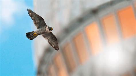 le faucon dnich pleine faucon p 232 lerin un chasseur en pleine ville la salamandre