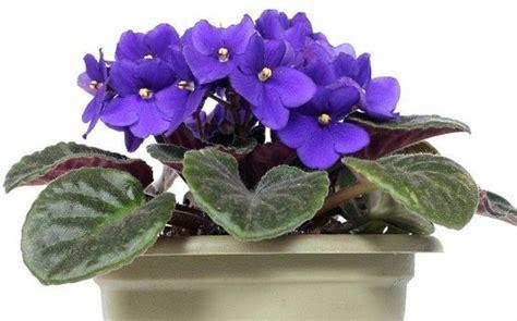 como cuidar de violetas africanas saiba como cuidar das violetas flores f 225 ceis de cuidar