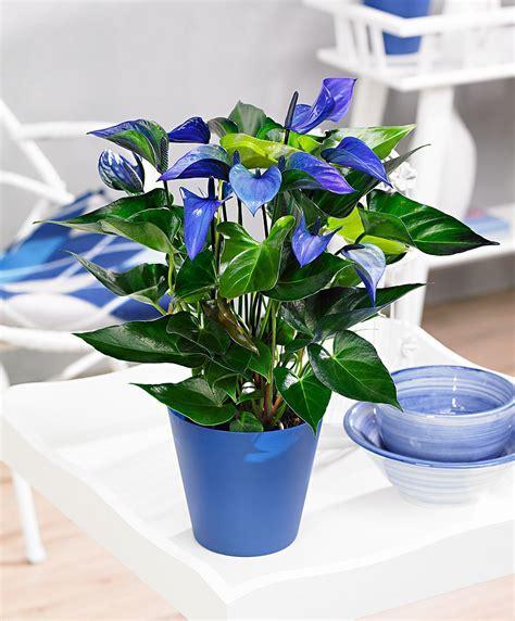 Buy house plants now Anthurium ?Princess Alexia Blue