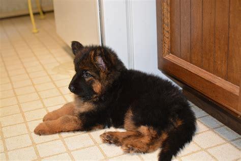 rottweiler puppies for sale montreal 6 week haired german shepherd photo