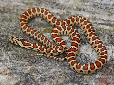 commercio casarano serpenti di tutto e di pi 249 colubro leopardino