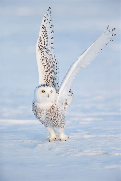 snowy owl owl facts owl pictures and snowy owl