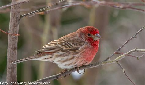 male house finch photographing purple finches and house finches and how to tell them apart welcome