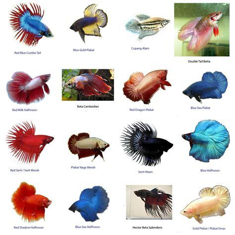 Makanan Ikan Hias Ramirezi bettas wholesale asia s tropical fish ornamental fish